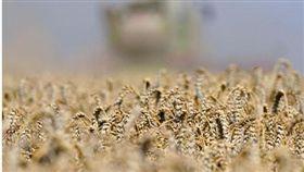 枯萎的向日葵、曬乾的麥田、發育不良的玉米桿,德國北部農田正慘遭一場史上罕見的乾旱蹂躪,包括今年的極端高溫以及創紀錄的降雨新低。(圖/翻攝自@STcom Twitter)