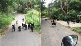 回家被30隻狗堵路!騎士遭追扯褲管 嘆:要等到出事嗎 圖/翻攝自臉書「爆料公社」
