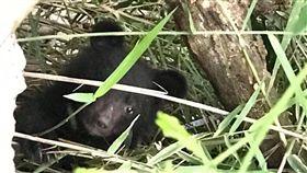 落單小黑熊貧血 先人工照養再野放花蓮南安瀑布落單的小黑熊,一直等不到黑熊媽媽,出現貧血、拉肚子狀況,屏科大教授黃美秀團隊緊急將小熊帶離野外健檢,並在專家開會評估後,決定先讓小熊接受短期人工照養再擇期野放。(花蓮林管處提供)中央社記者盧太城傳真 107年7月30日