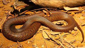 西部擬眼鏡蛇(western brown snakes)咬傷。(圖/翻攝自維基百科)