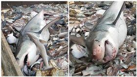 美國,羅得島,大白鯊,放生,鯊魚(圖/翻攝自Michael Lorello臉書)