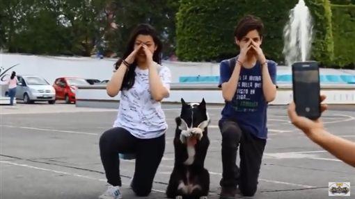 乳牛汪,狗,拍照,米克斯,寵物