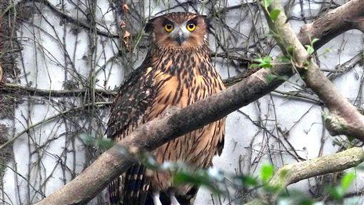 動物園延長開放 觀察貓頭鷹最佳時機