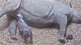 瀕危黑犀牛生了!寶寶喝奶萌樣曝光 英國,切斯特動物園,東非黑犀牛,極度瀕危,出生 https://youtu.be/BsUDKnjfDUc