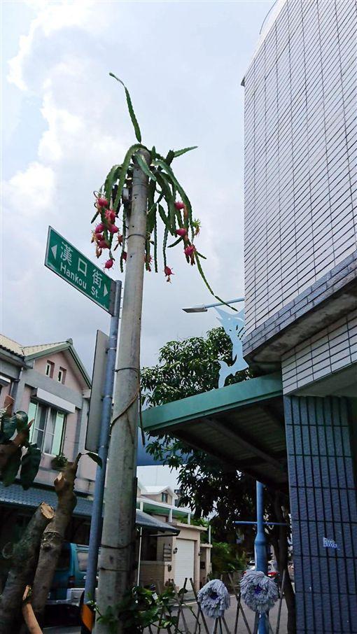 台東最高的火龍果 吃不到只能觀賞