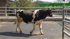 農委會,畜產試驗所,基因體選拔,種公牛,遺傳,種牛場,公牛