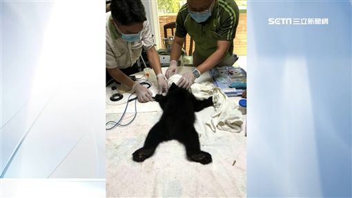 瀑布小黑熊胖了!搭黑鷹直升機抵新家SOT黑熊,直升機,花蓮,獸醫,南投,保育