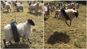 羊,輪胎,鞦韆,卡住,悲劇(圖/翻攝自推特)