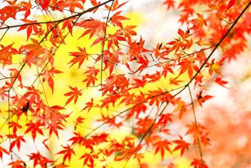 (業配)楓櫻同框的美麗奇景 只有日本小原四季櫻看得到
