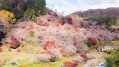 楓櫻同框奇景 只在小原四季櫻看得到