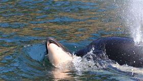 美國殺人鯨塔勒,Tahlequah,J35(圖/翻攝自推特)