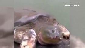 巨鱉是神物1200