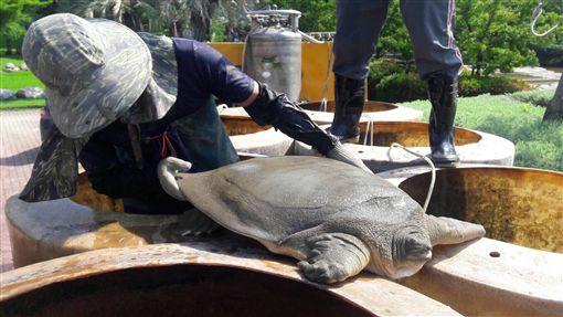 中市豐樂公園水池整修 發現稀有保育動物