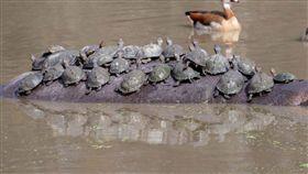 南非最大「河馬渡輪」開船啦!50隻水龜擠爆座位(圖/翻攝自caters)水牛,南非,水龜,泡水,超載