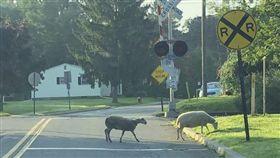 ▲第2天早上民眾在火車站附近發現4隻羊。(圖/翻攝自紐澤西先鋒報) http://www.njherald.com/20180810/goats-sheep-on-the-lam-after-escape-from-hackettstown-auction#