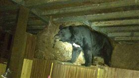 台灣黑熊闖入嘉明湖登山步道向陽山屋(天馬登山隊提供)