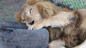 馬戲團受虐獅獲救!庇護所內開心翻滾 (圖/翻攝自ADI臉書)