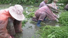 雨災菜價漲1200