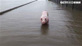 嘉義,大雨,淹水,養豬戶,養雞戶,游泳,溺斃