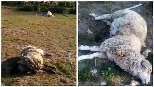 烏克蘭,綿羊離奇死亡(圖/翻攝自推特)
