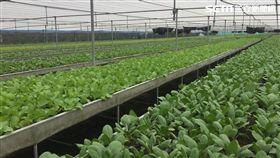 大雨,菜價,農業委員會,農糧署,蔬菜