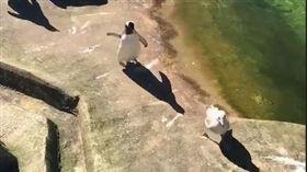 追追追!企鵝追海鷗到天崖海角 意外發現牠們是水中蛟龍(圖/翻攝自LADbible臉書)企鵝,寵物,海鷗,追,動物園