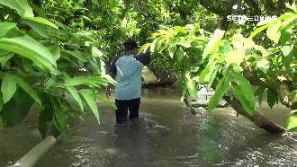 蓮霧園水淹膝蓋 果農苦「撩水」噴藥