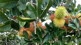 果農砍檳榔樹種紅毛丹 讓外配滿足家鄉味