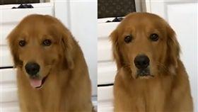 黃金獵犬吃藥被陰了!對比表情網友笑噴(圖/翻攝西瓜視頻臉書)