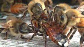 蜜蜂,蜂蜜,美國 圖/翻攝自YouTube