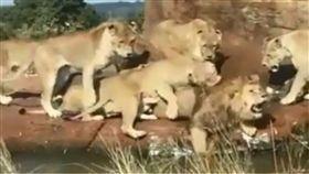 獸醫,獅子,公獅,母獅,食物,攻擊,秩序,管理,兄弟,偷吃,動物園,英國 圖/翻攝自YouTube http://youtu.be/82lIS5xlsD8