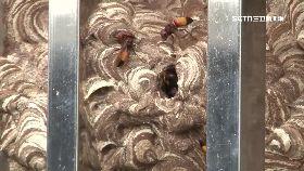 虎頭蜂吉兆1200