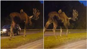 阿拉斯加公路出現野生巨鹿,嚇壞路人。(圖/翻攝自Réactionnaire Médiatique YouTube)