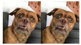 太醜引關注!每天呈現「驚呆樣」萌汪曝光 網:醜的可愛 新媒體 吉娃娃,美國,救援犬,狗狗