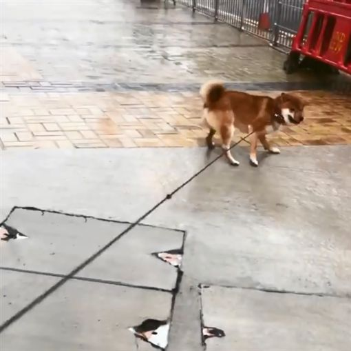 山竹能吃嗎?呆萌柴求遛…強風中玩嗨柴犬,山竹,香港https://www.instagram.com/p/BnxXeNWnjYq/