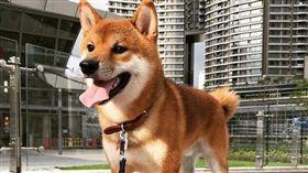 山竹能吃嗎?呆萌柴求遛…強風中玩嗨 柴犬,山竹,香港 https://www.instagram.com/p/BnxXeNWnjYq/