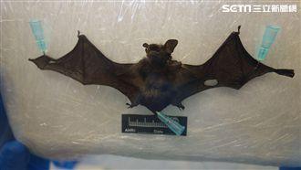 嚇!宜蘭縣蝙蝠檢出台灣蝙蝠麗沙病毒