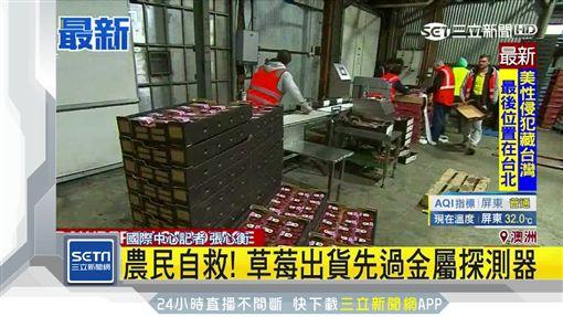 草莓藏針事態擴大 農場自備探測器。