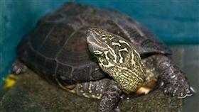 中華草龜,烏龜(圖/翻攝自維基百科)