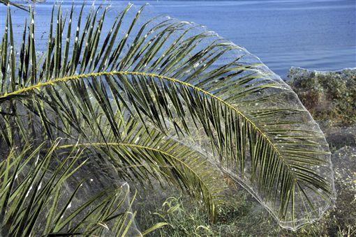 希臘西部小鎮艾托利科(Aitoliko)出現大量蜘蛛絲奇景(圖/美聯社/達志影像)