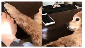 萌汪是「低頭族守護者」 見汪媽拿手機出手阻擋:不要碰!