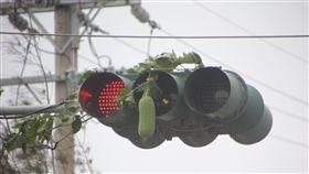 絲瓜懸掛在紅綠燈號誌上。(圖/林宜樟提供)