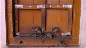 老鼠(示意圖/翻攝自pixabay)