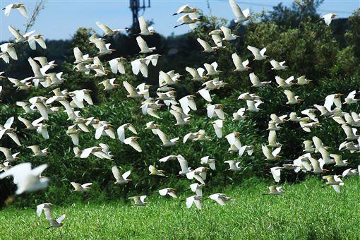 生態饗宴 龍鑾潭白羽點紛飛成亮