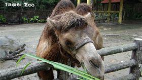 台北市立動物園驚傳駱駝咬傷飼養員事件(翻攝台北市立動物園臉書)