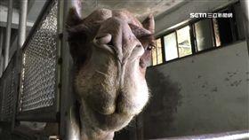 北市動物園17年首例! 保育員遭駱駝
