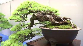 千萬松盆栽1800