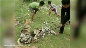 巨蟒緊纏狗 大膽少年肉搏搶救(圖/翻攝自每日星報)巨蟒,少年,救狗
