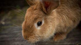 寵物兔子/pixabay