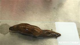 蛞蝓。(圖/南投醫院提供)